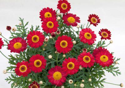 Argyranthemum Red