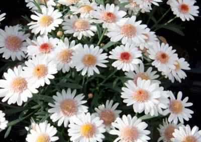 Argyranthemum Toffee