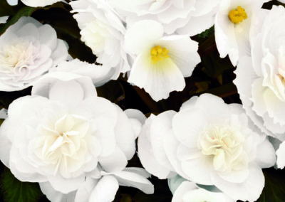 Begonia Nonstop Joy White