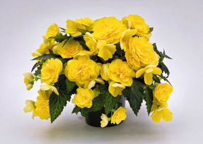Begonia Nonstop Joy Yellow
