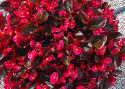 Begonia semp. Bronze Scarlet