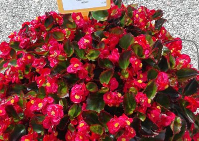 Begonia semp. Scarlet