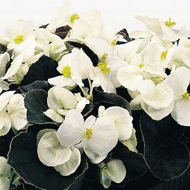 Begonia semp. Bronze White