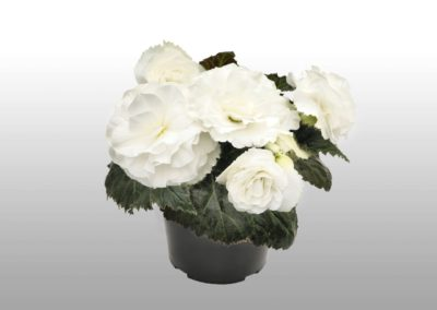 Begonia tub. Nonstop White