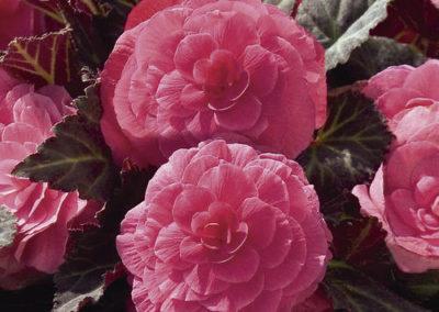 Begonia tub.Mocca Pink Shades