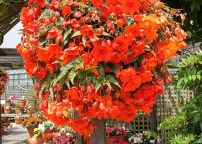 Begonia tuber. Orange