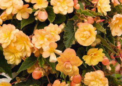 Begonia tuber.Apricot