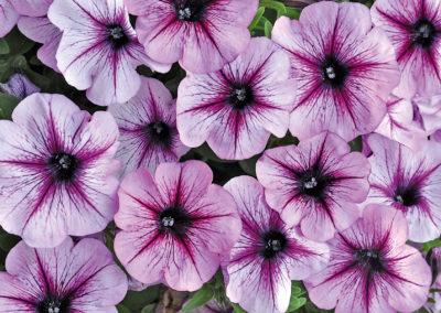Bonnie Lavender Star