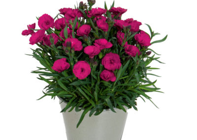 Dianthus Carmen Purple
