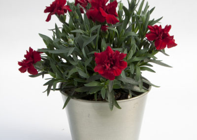 Dianthus Oscar Dark Red