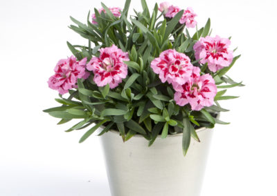 Dianthus Oscar Pink and Purple