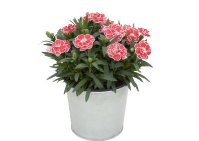 Dianthus Oscar White and Red