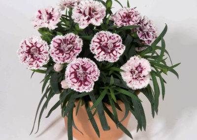 Dianthus Sissy