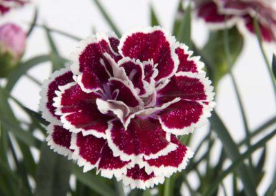 Dianthus Sophie