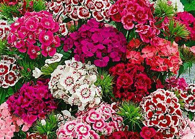 Dianthus barbarini mix