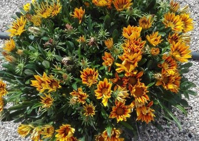 Gazania Yellow Flame