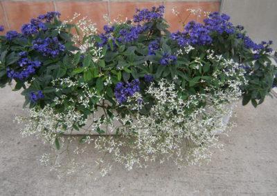 Heliotropium + Euphorbia