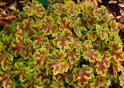 Heuchera Solar Power