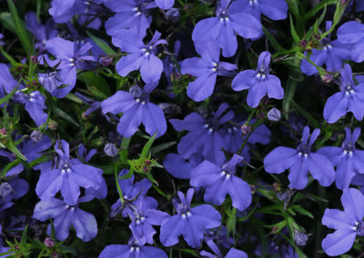 Lobelia Dark Blue