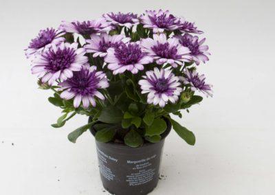 Osteospermum 3D Dark Violet White