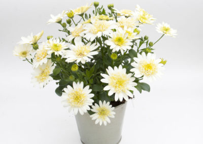 Osteospermum 3D Lemon Ice