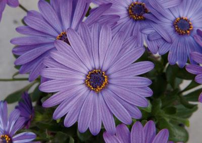 Osteospermum Blue