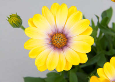Osteospermum Magic Yellow