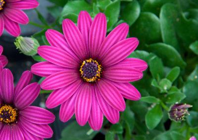 Osteospermum Purple