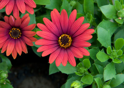 Osteospermum Red