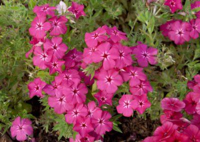 Phlox Hot Pink