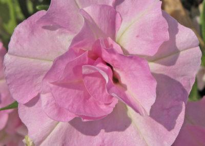 Sw. Light Pink