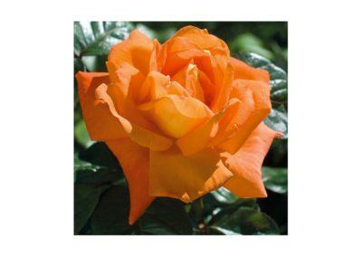 Ťahavá ruža