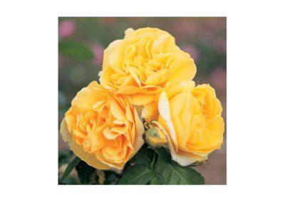 Ruža kríčková
