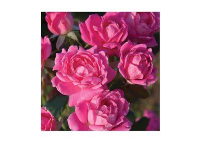 Pôdopokryvná ruža
